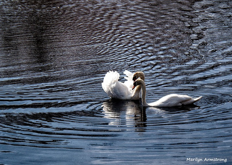 mated swans