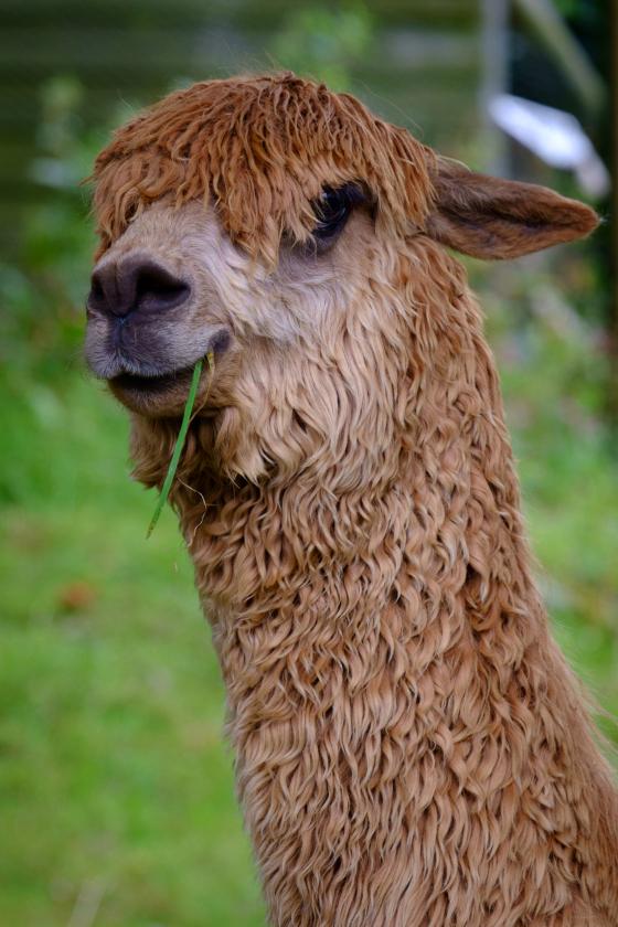 Alpaca on the Moors