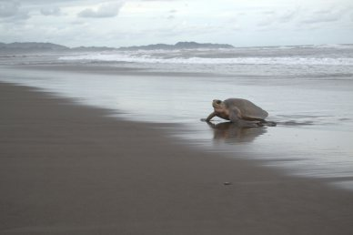 An Olive Ridley turtle emerges from the ocean along Costa Rica's Pacific coast.