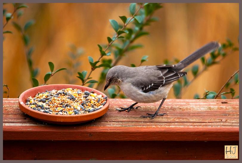 Northern Mockingbird -- (Mimus polyglottos)