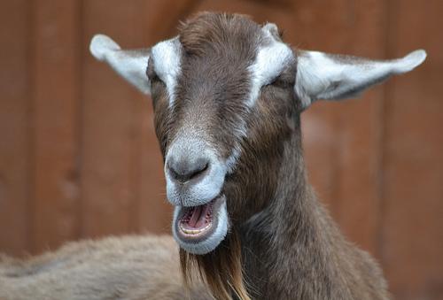 brown goat talking