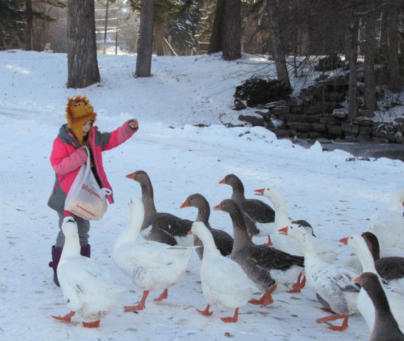 Ambrosia feeding ducks
