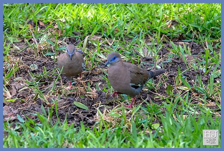 West Peruvian Dove -- (Zenaida melodia)