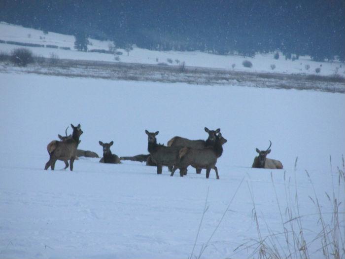 elk prancing