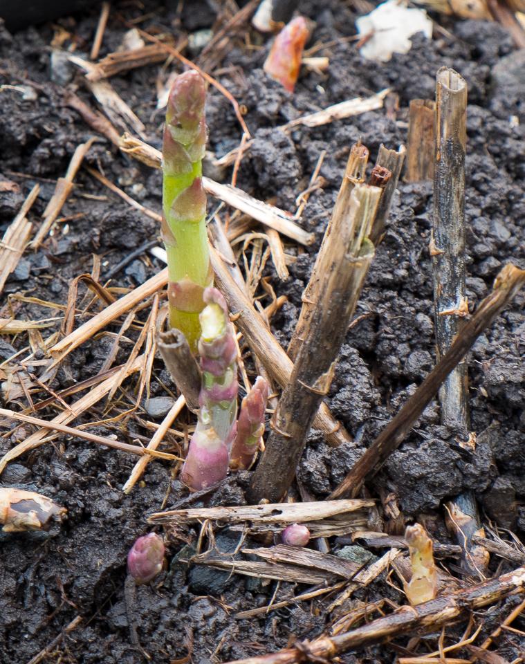 Asparagus tips '15