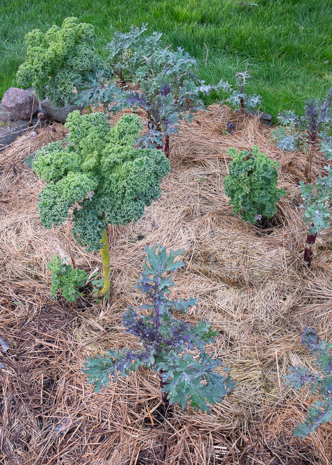Kale new growth '15