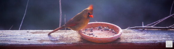Female Northern Cardinal --- Click on image to see enlargement ---