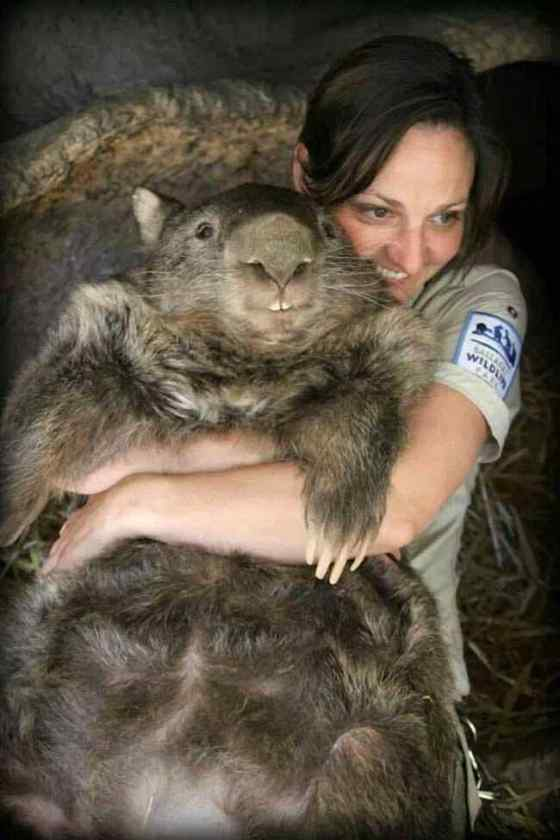 This-here-is-Patrick-the-oldest-and-largest-living-wombat-in-the-world7