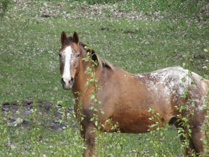 horse pinto