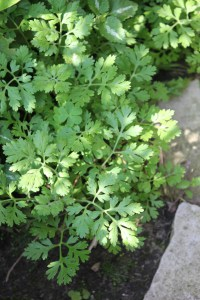 Feverfew foliage.(Tanacetum parthenium) 短舌匹菊/解熱菊的葉片.