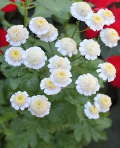 Feverfew (Tanacetum parthenium) 短舌匹菊/解熱菊