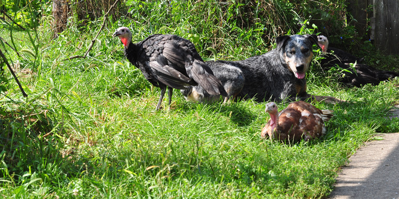 the dog and the turkeys