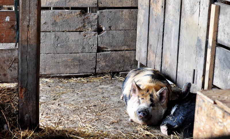kunekune pigs