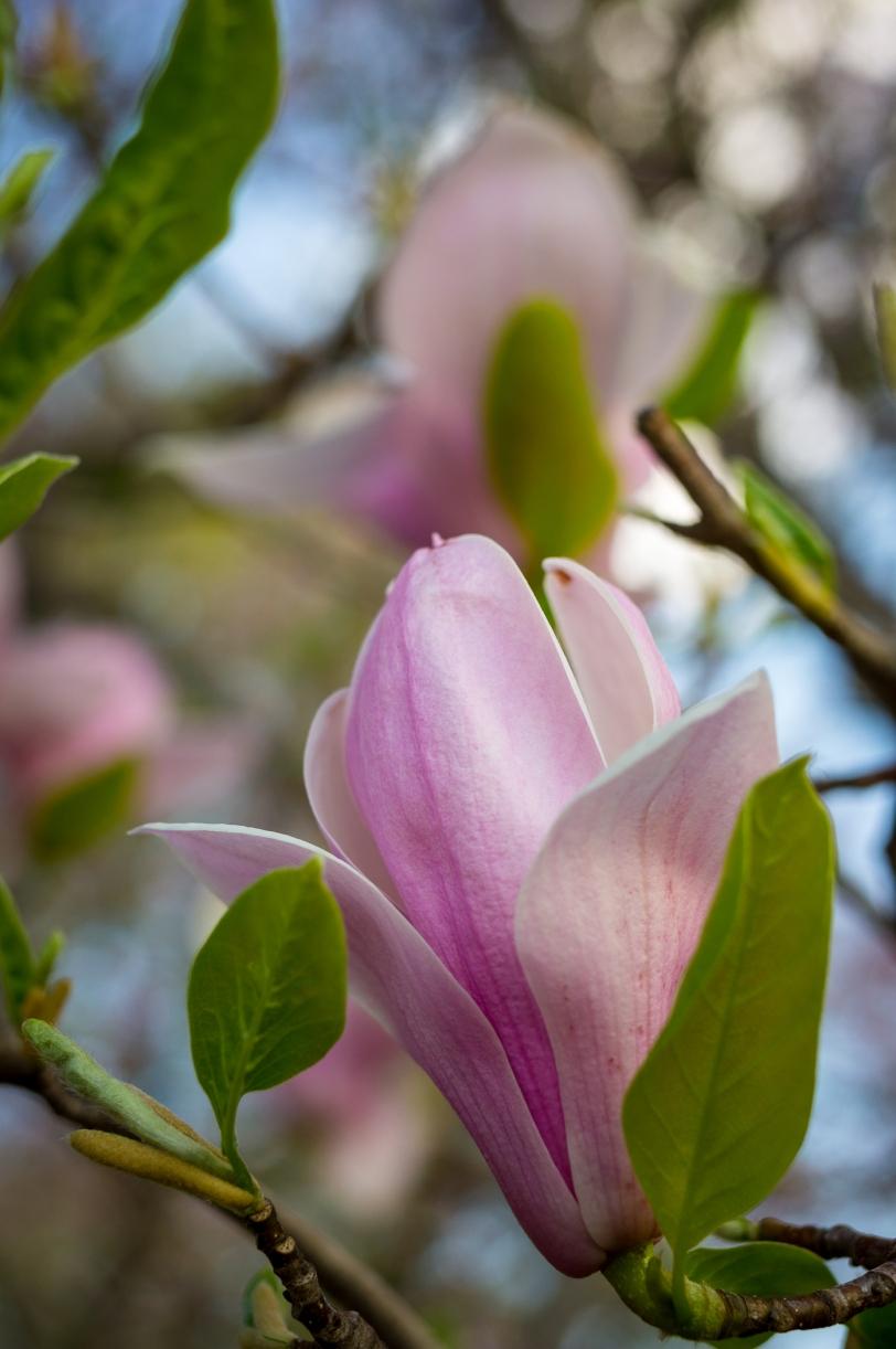 Tulip magnolias -- Central Maryland (April 2015)Sony NEX-5N + Zeiss Distagon 35mm f/1.4