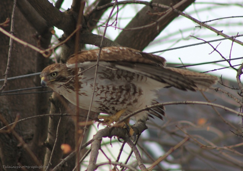 Hawk, Red-tail 005