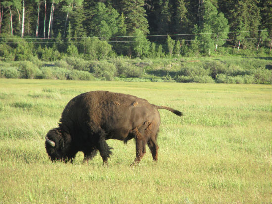 bison-in-tetons-travel