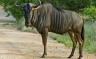 The Blue Wildebeest is a large and Common Herbivore in Africa