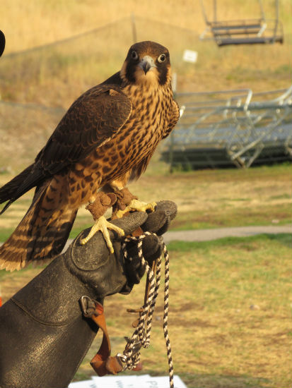 falcon-at-fair-in-jh-travel